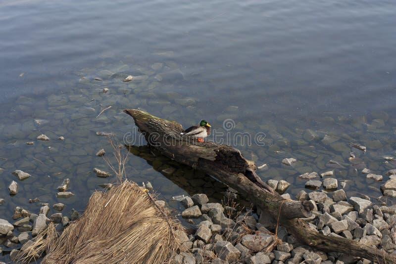 Селезень утки в фото озера стоковое фото