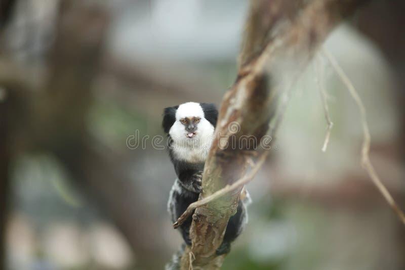 Седоволасая мартышка сидя в дереве стоковое фото rf