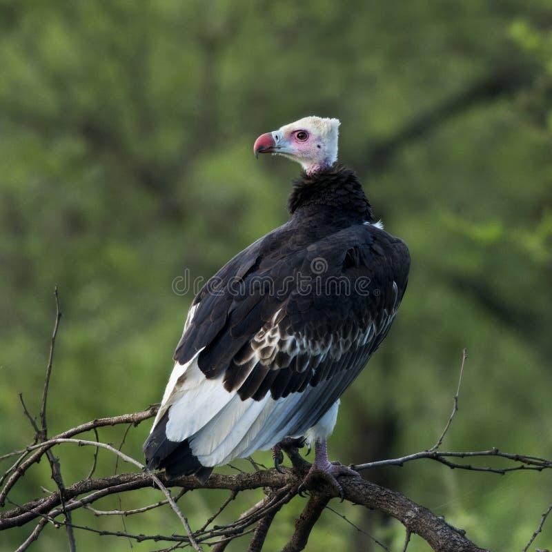 Седоволасый хищник садился на насест на ветви, Serengeti стоковая фотография rf
