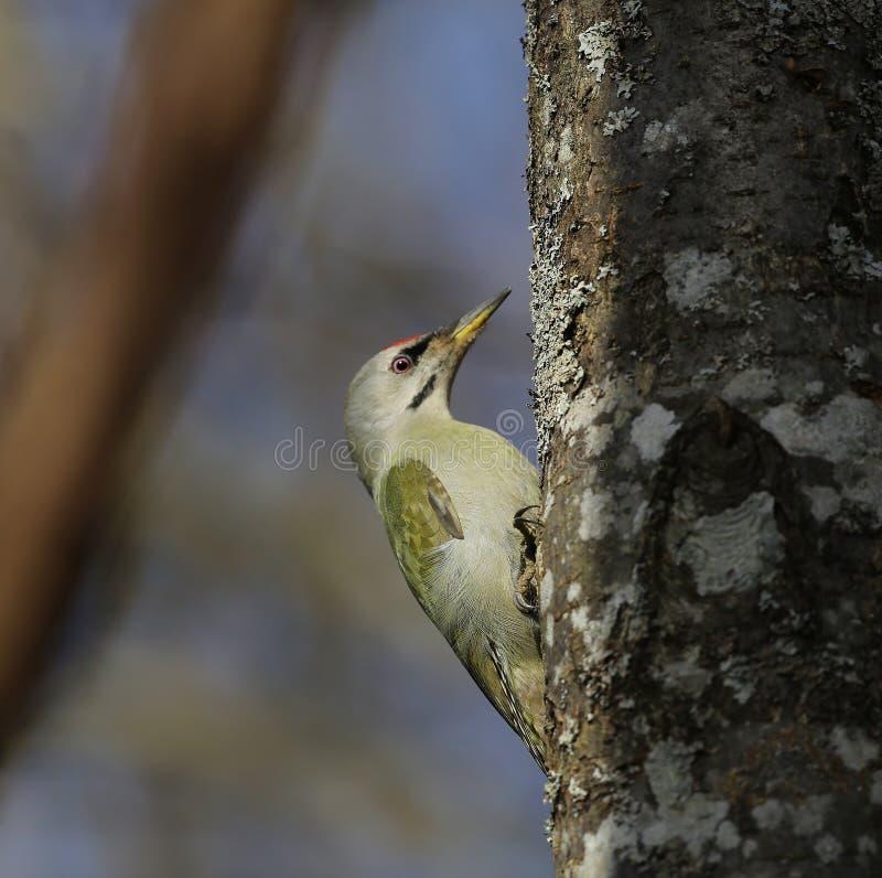 Седовласый woodpecker (canus Picus) стоковые изображения