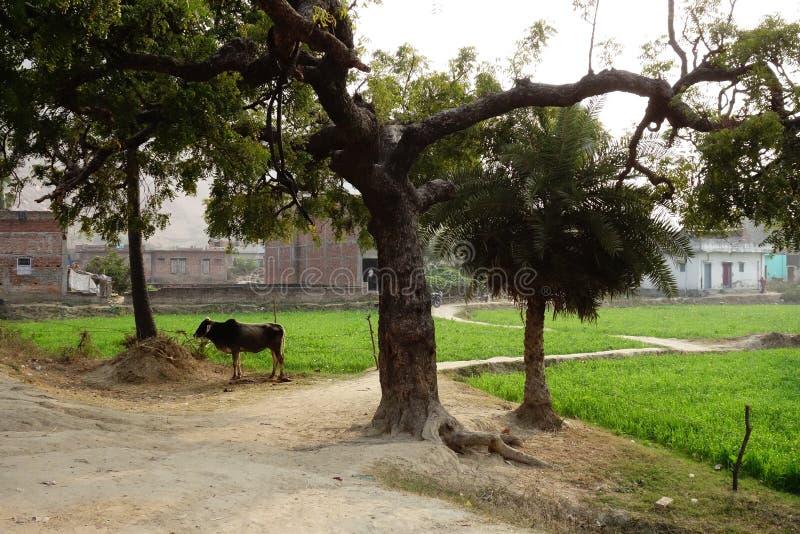 Сельская индийская деревня с Bull стоковое фото
