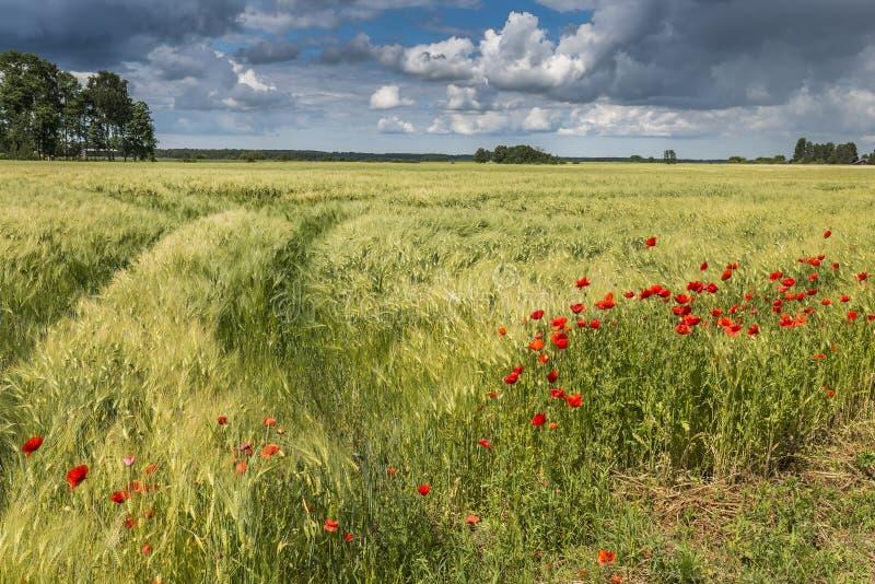 Сельский ландшафт с полем маков и ячменя стоковое изображение