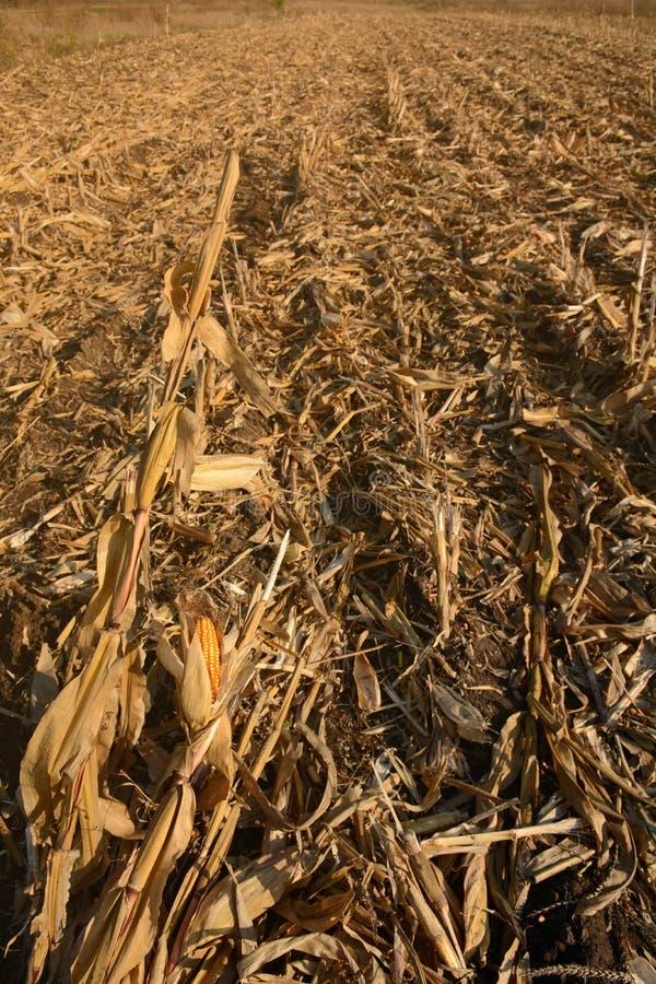 Сжатое кукурузное поле на день осени ландшафт сельский Кукурузный початок стоковые изображения