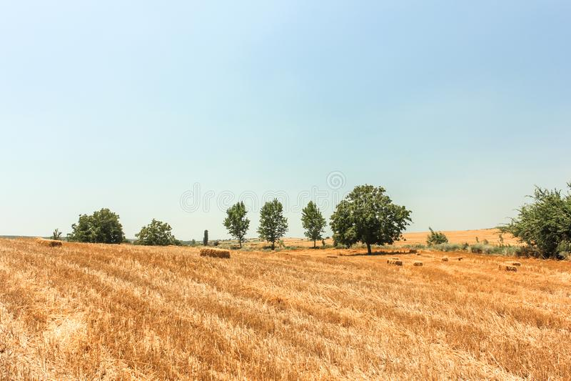 Сжатое пшеничное поле в Турции стоковое изображение rf