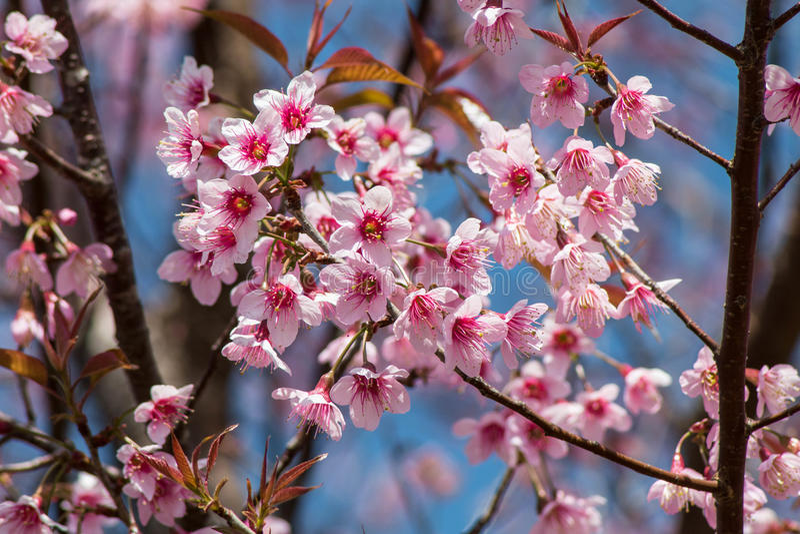 Сиамский вишневый цвет стоковое фото rf