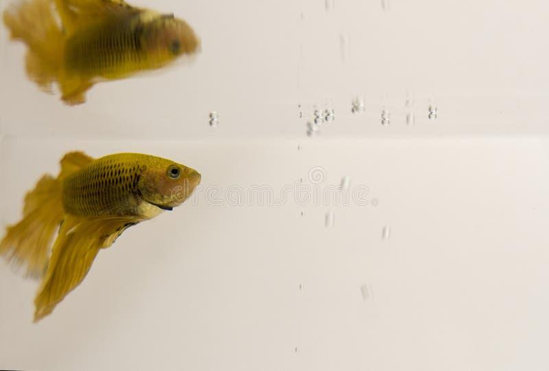 Сиамский воюя полумесяц Betta Splendens рыб желтый поворачивая к пузырям стоковые фотографии rf