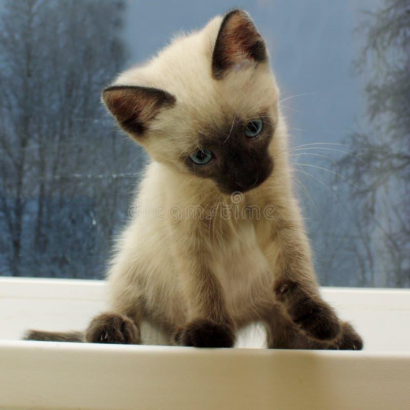 Сиамский котенок на windowsill стоковые изображения