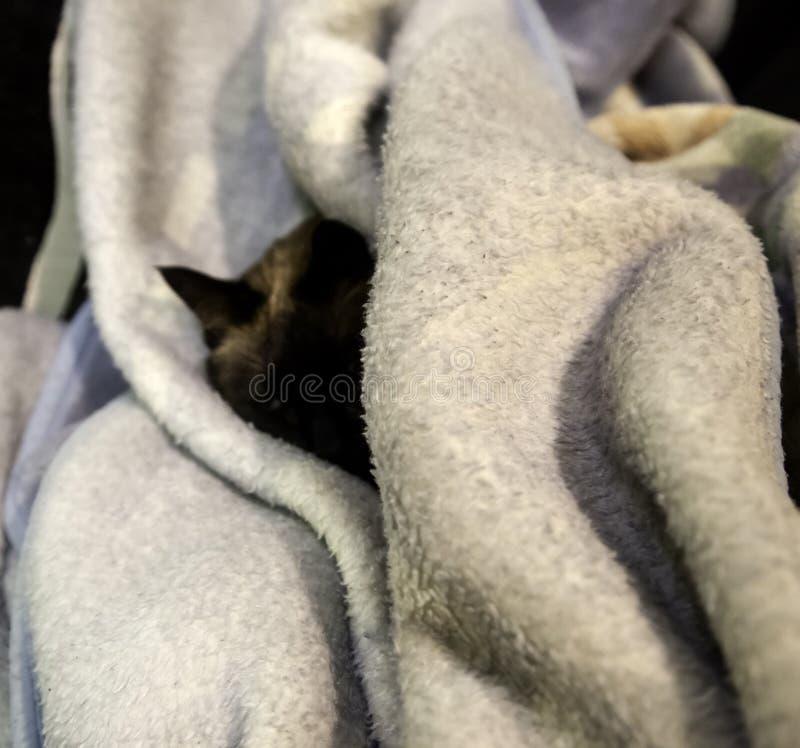 Сиамский кот уснувший стоковые фото