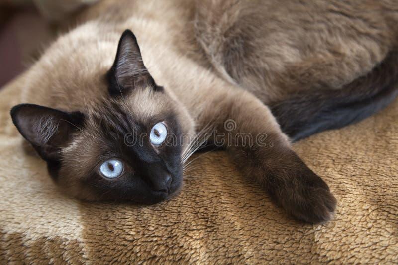 Сиамский кот стоковые фотографии rf