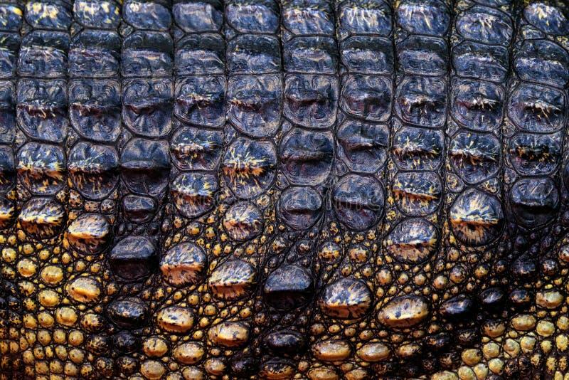Сиамский крокодил, siamensis крокодила, пресноводный уроженец гада к Индонезии Деталь кожи конца-вверх редкого животного Взгляд и стоковые изображения rf