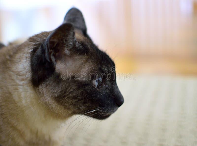 Сиамский профиль стоковое фото