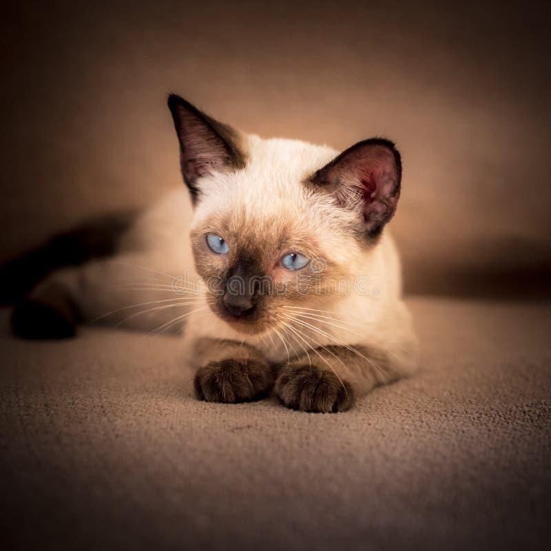 Сиамский сфокусированный кот стоковая фотография