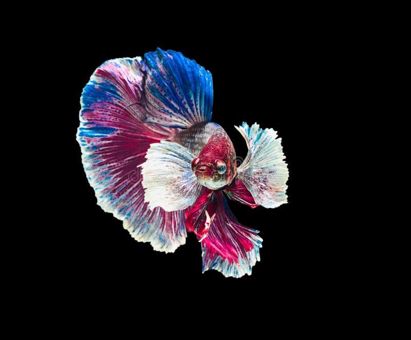 Сиамское воюя ухо рыб большое белое, голубое, красное и зеленое с стоковое фото rf
