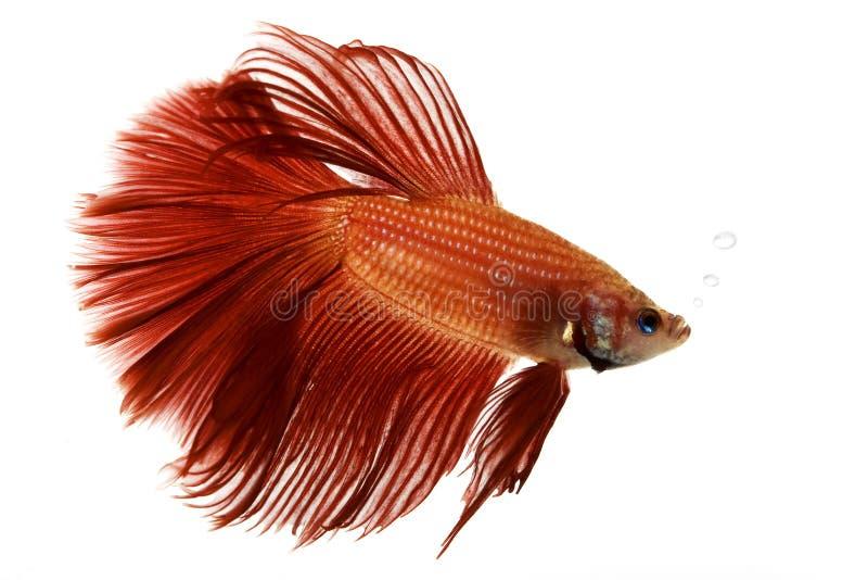 сиамское рыб бой красное стоковая фотография