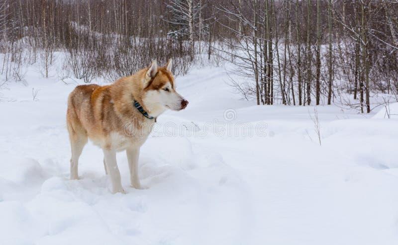 Сибирская лайка в лесе зимы, крупный план стоковое фото