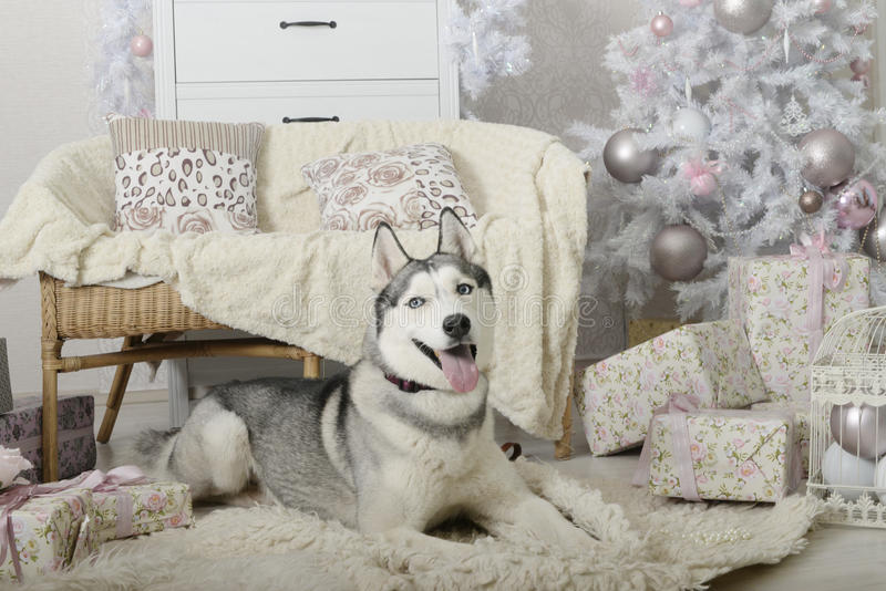 Сибирская лайка в нежном интерьере рождества стоковое изображение