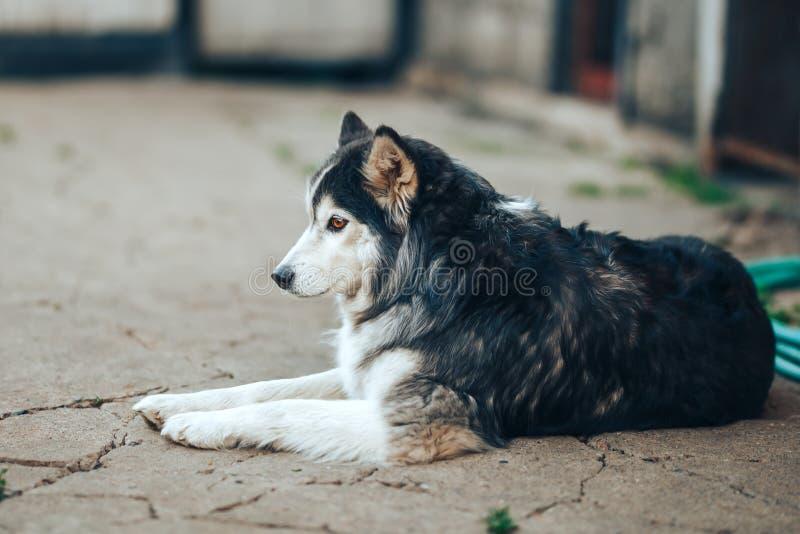 сибирская сиплая собака черно-белая с коричневыми глазами лежа на дворе дома, 8 лет старого тумана стоковые фотографии rf