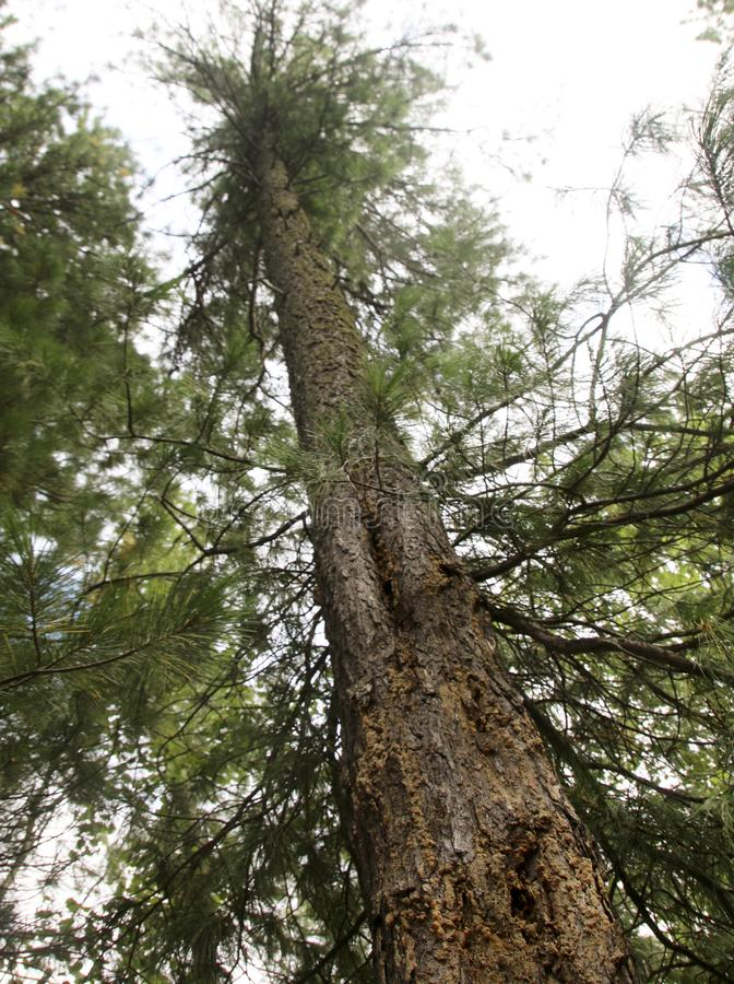 Сибирская сосна в лесе стоковая фотография rf