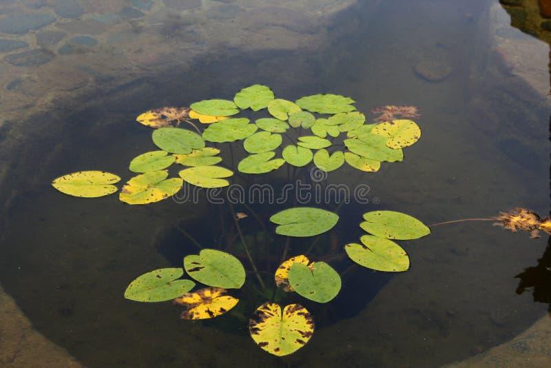 Сибирские лилии стоковая фотография