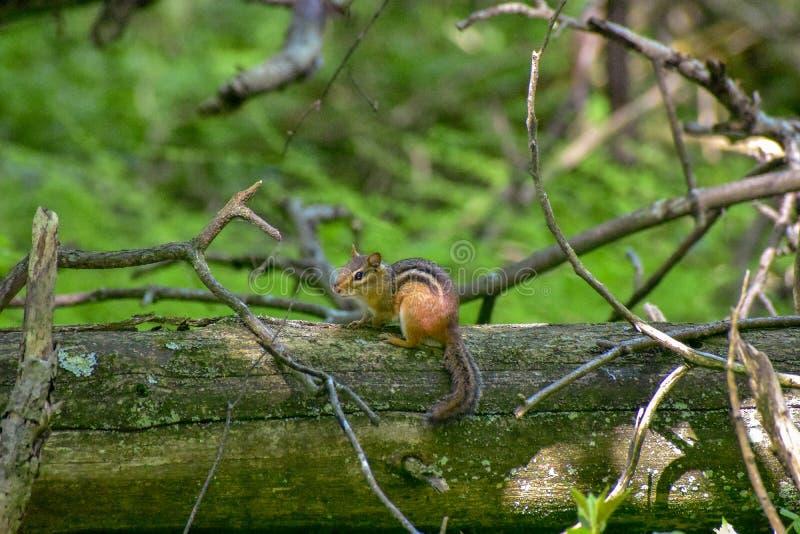 Сибирский бурундук в лесе стоковая фотография rf