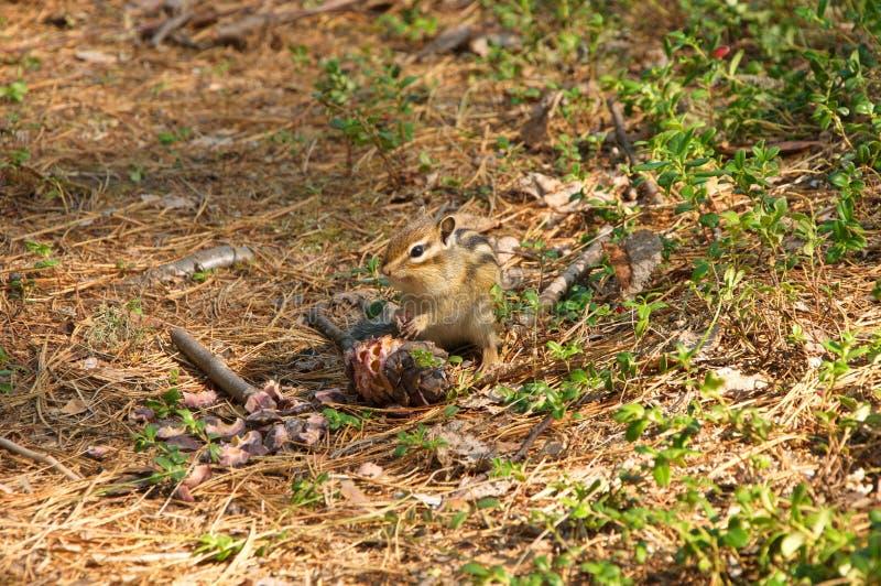 Сибирский бурундук ест конус кедра стоковые фотографии rf