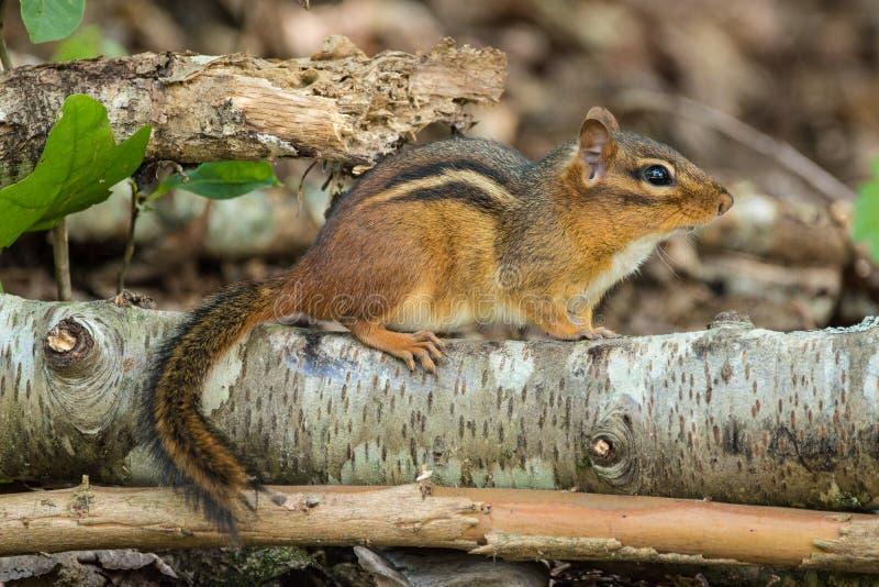 Сибирский бурундук на имени пользователя древесины стоковое изображение rf
