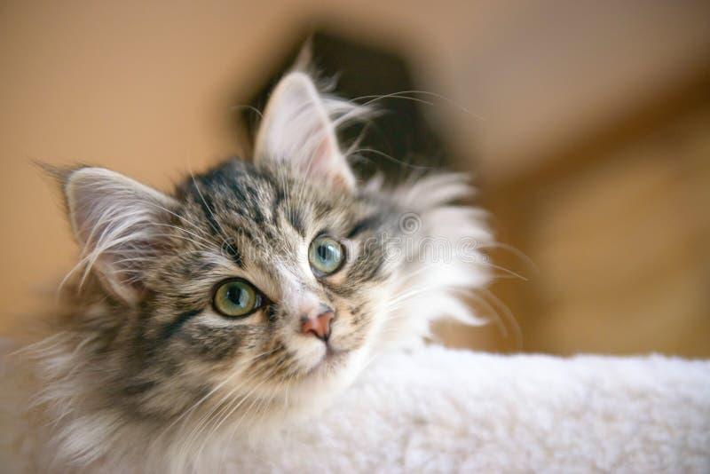 Сибирский котенок кота леса стоковое фото rf