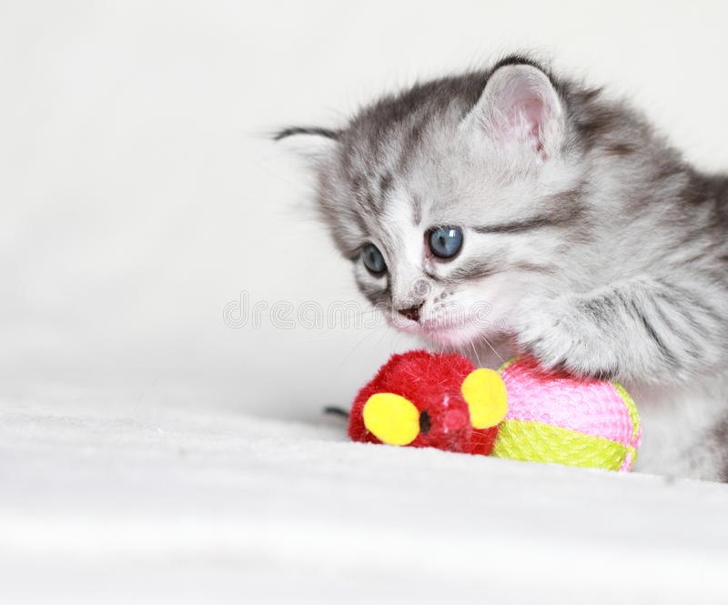 Сибирский котенок, серебряная версия стоковое фото rf