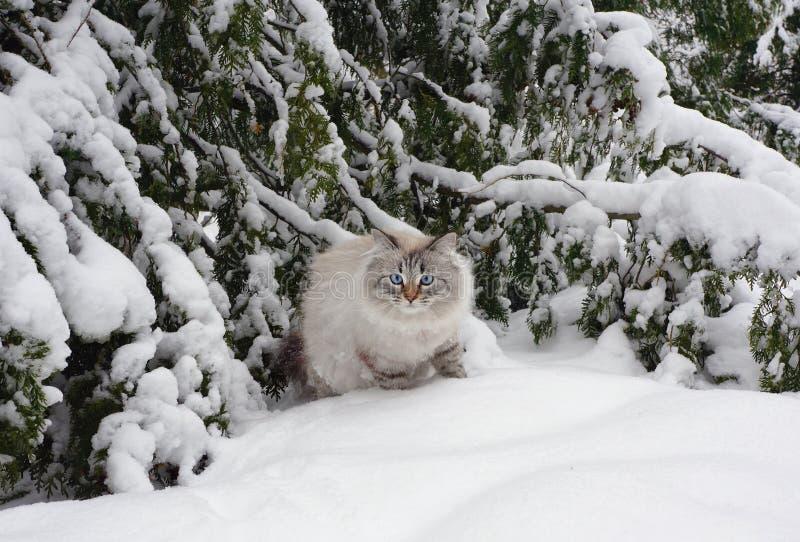 Сибирский кот на прогулке в зиме стоковые фото
