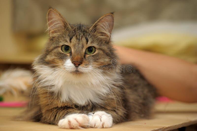 Сибирский кот стоковые фото