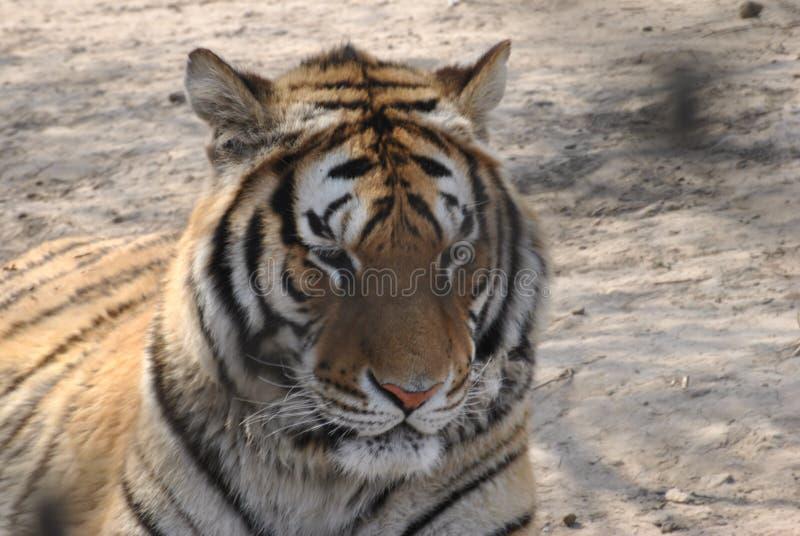 Сибирский тигр в Харбин, Китай стоковые фотографии rf