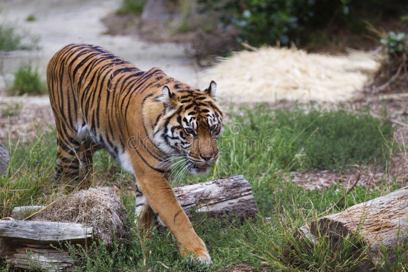 Сибирский тигр идя в траву стоковое фото rf