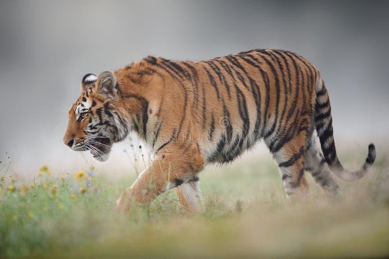 Сибирский тигр на туманном утре лета стоковая фотография