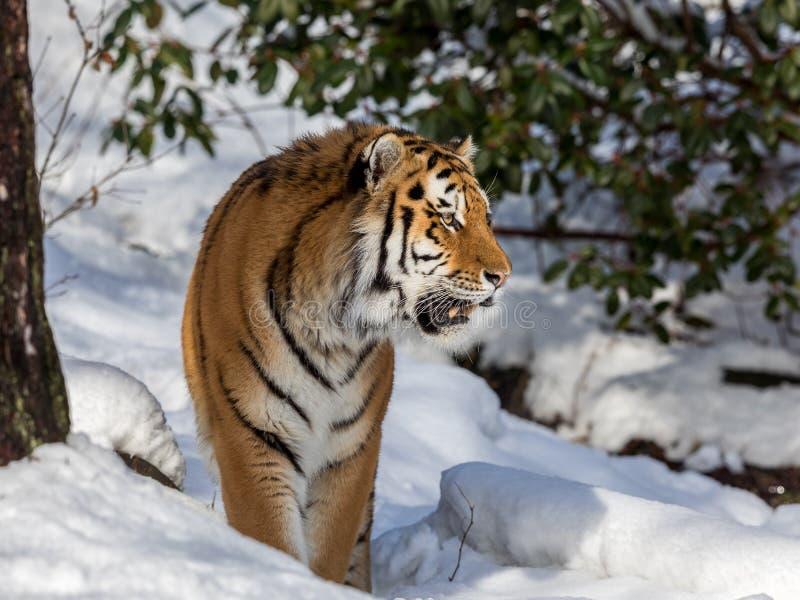 Сибирский тигр, altaica Тигра пантеры, идя в снег в лесе смотря правый стоковые фото