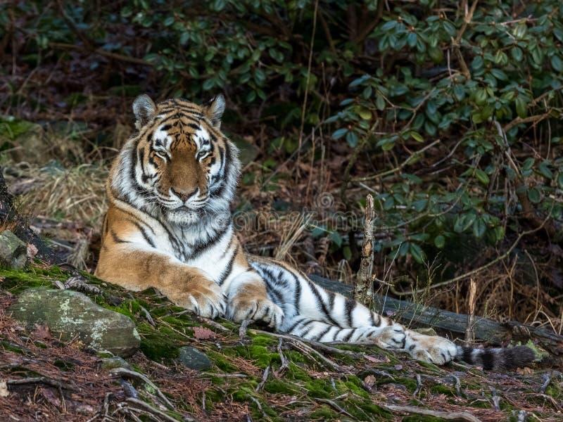 Сибирский тигр, altaica Тигра пантеры, отдыхая в зоопарке леса стоковые фотографии rf