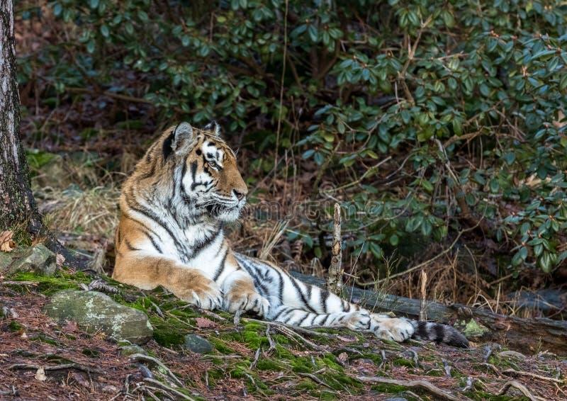 Сибирский тигр, altaica Тигра пантеры, отдыхая в зоопарке леса стоковое изображение rf