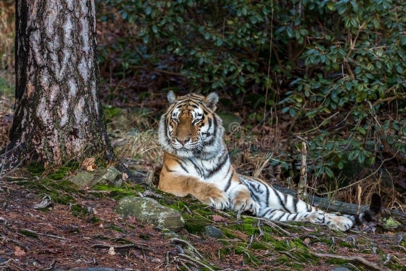 Сибирский тигр, altaica Тигра пантеры, отдыхая в зоопарке леса стоковое изображение