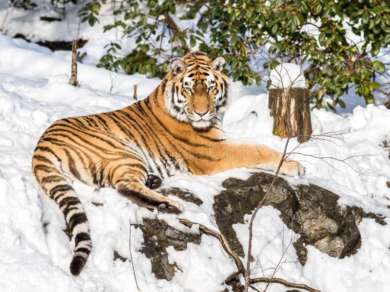 Сибирский тигр, altaica Тигра пантеры, отдыхая в снеге в лесе смотря камеру стоковое фото rf