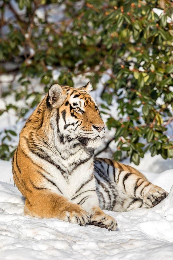 Сибирский тигр, altaica Тигра пантеры, отдыхая в снеге в лесе смотря камеру стоковая фотография