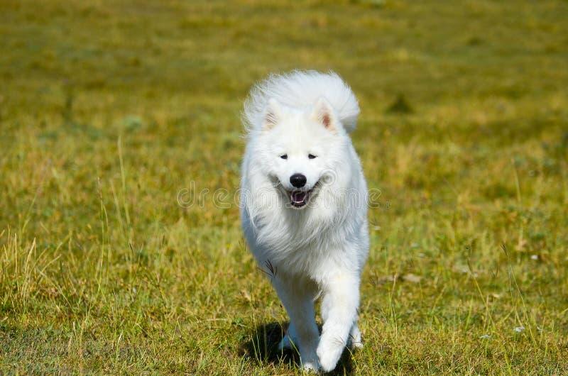Сибирский Samoyed, белая осиплая собака стоковое изображение rf