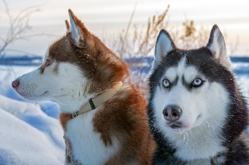 2 сибирских сиплых взгляда собак вокруг Сиплые собаки имеют черный, коричневый и белый цвет пальто конец вверх над солнцем яркой  стоковое фото rf