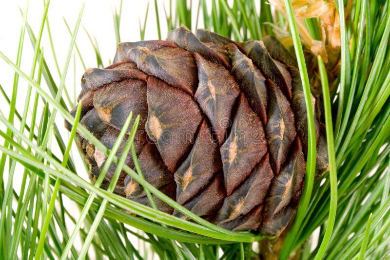 сибиряк конуса кедра ветви стоковое изображение