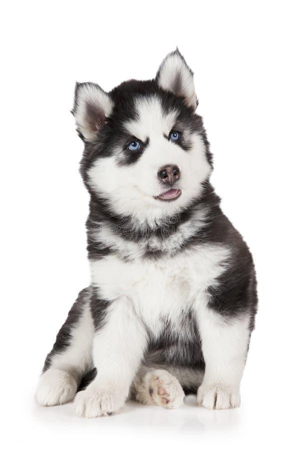 сибиряк щенка собаки осиплый стоковые фото