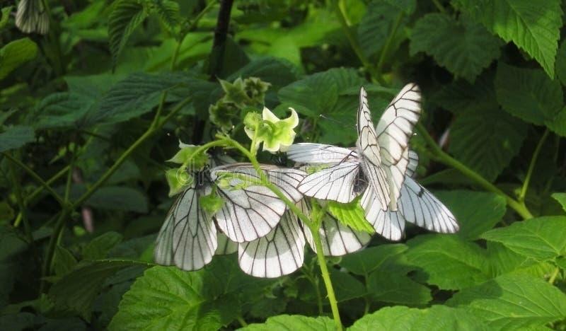Сиг боярышника бабочки на поленике Много белых бабочек бичей на графике сада стоковая фотография