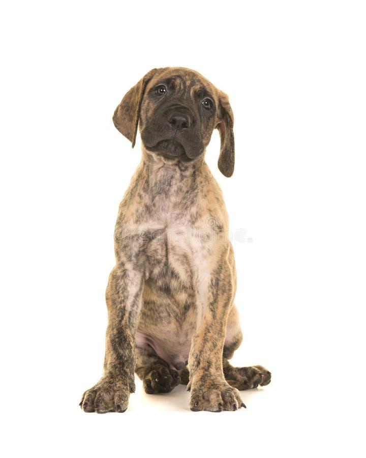 Сидеть щенка большого датчанина увиденный от фронта смотря вверх изолированный стоковое фото rf