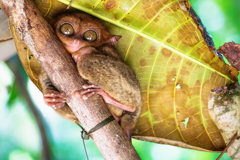 Сидеть Tarsier милый на ветви в Bohol, Филиппинах, Азии стоковые изображения rf