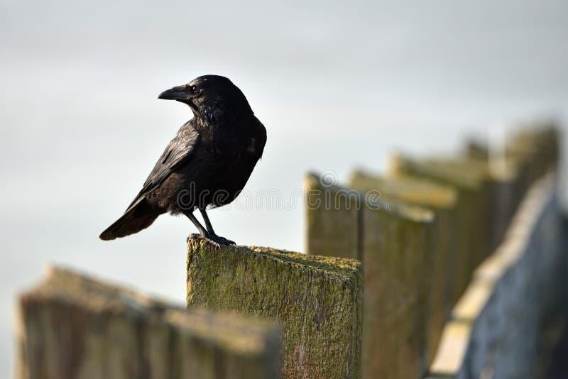 Сидя ворона стоковое фото