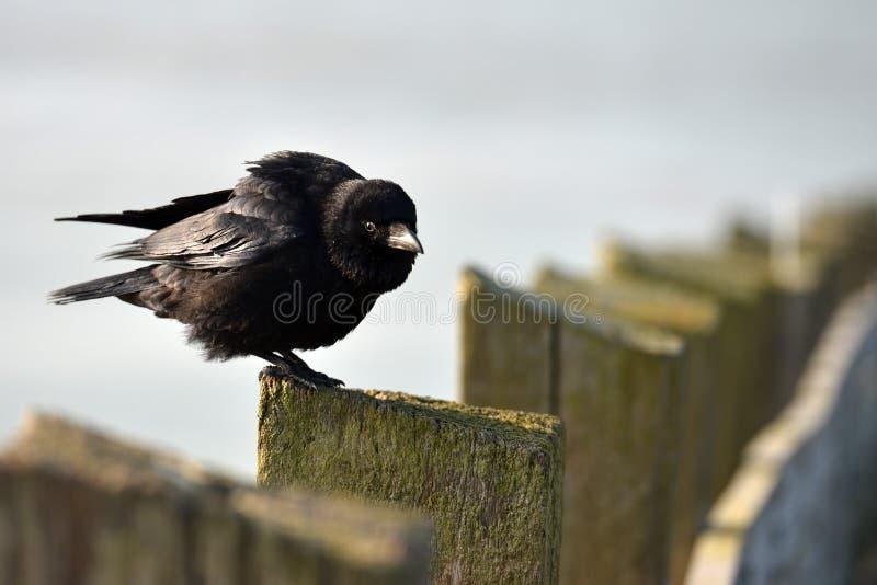 Сидя ворона стоковая фотография rf