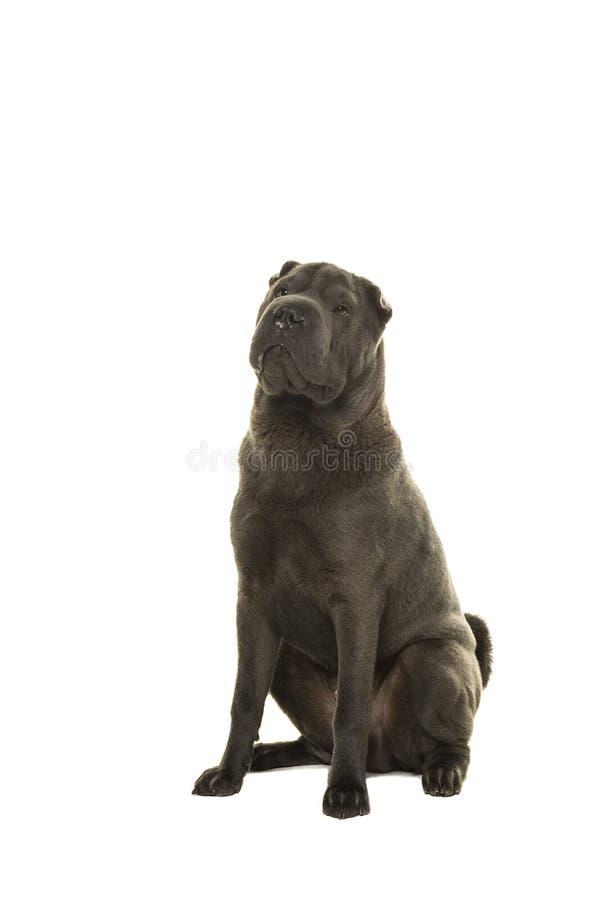 Сидя серая собака Shar-pei смотря вверх на белой предпосылке стоковая фотография rf
