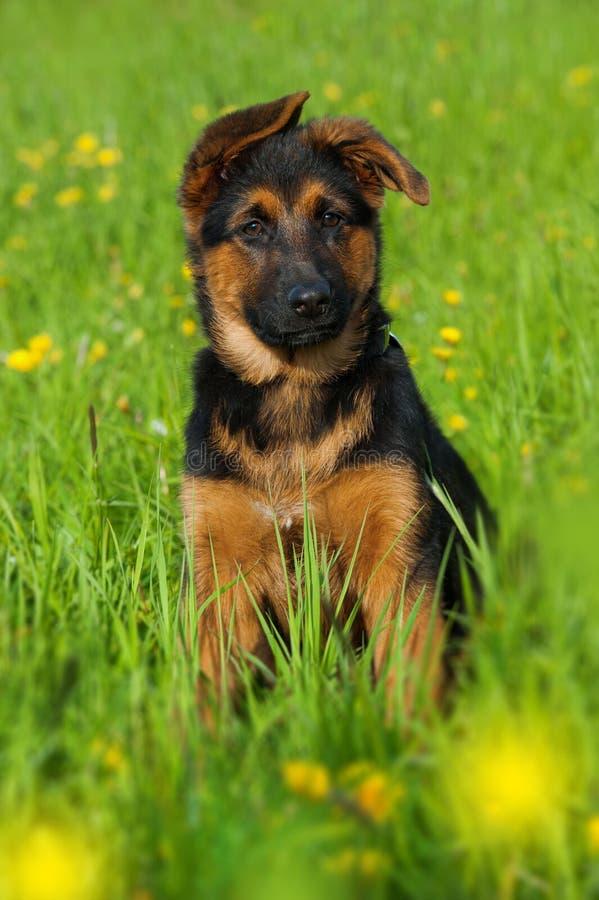 Сидя щенок немецкой овчарки в природе стоковое изображение